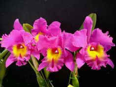 Bellas Orquideas