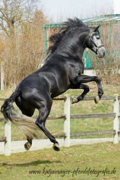 Andalusian, jumping up off all fours playing. Gorgeous fun horse photography.