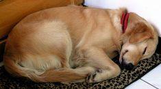 cachorro-dificuldade-respirar