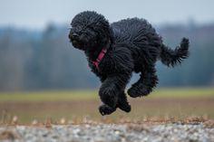 Barbet dog running