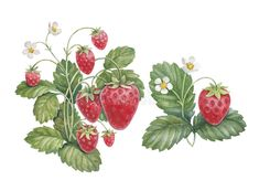 Illustration about Watercolor strawberry bush isolated on white. Illustration of isolated, diet, harvest - 30821370 Strawberry Bush, Strawberry Drawing, Strawberry Tattoo, Strawberry Plants, Strawberry Garden, Bush Drawing, Plant Drawing, Plant Illustration, Watercolor Illustration