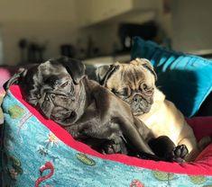 Pug Love, I Love Dogs, Pug Cartoon, Pug Puppies, Cute Pugs, Puppys, All Dogs, Cute Baby Animals, Doggies