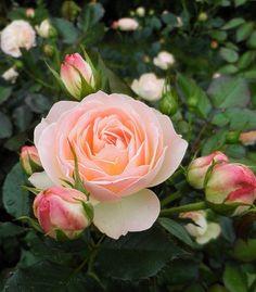"""Rosa """" Pastella """" Hybrid Tea - Tantau - 2004"""