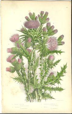 Antique Color Anne Pratt Flower Plant Print Botanical Plate 115 c.1850