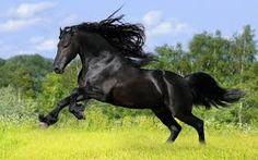 Resultado de imagen para caballo frison