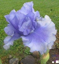 "SellPin.com: Pins for Sale by Owner: SkywalkerSchreiner199636"", blooms MidseasonAzure blue w/white streaked standards"