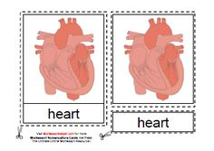 Montessori-Monday – Montessori-Inspired Heart and Circulatory System Activities | LivingMontessoriNow.com