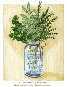 Botanical Illustration inspired by Simon and Garfunkel cover of Scarborough Fair. Mason Jar Art, Painted Mason Jars, Watercolor Pictures, Watercolor Print, Kitchen Herbs, Kitchen Ideas, Scarborough Fair, Botanical Tattoo, Botanical Illustration