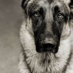 GSD (German Shepherd Dog) examining the camera Most Beautiful Dogs, Animals Beautiful, Cute Animals, Wild Animals, Baby Animals, Baby Dogs, Dogs And Puppies, I Love Dogs, Cute Dogs