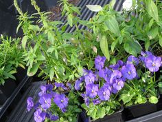 Snapdragon, Dianthus and pansies--Planting the last of the hardy annuals this week in my zone 7 B garden