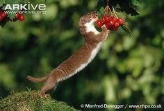 Weasel on hind legs eating berries