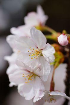 via Hanami - Cherry  Blossoms in Kyoto, Japan