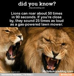 Lions can roar about 50 times in 90 seconds. If you& close by, they sound 25 times as loud as a gas-powered lawn mower. Wild Animals Attack, Animal Attack, Animal Facts, Cat Facts, Animal Fun, Wtf Fun Facts, Random Facts, Strange Facts, The Lion Sleeps Tonight