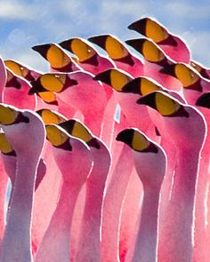 James's Flamingo (Puna Flamingo), Potosí, Bolivia by szeke via Flickr