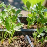Sucul de Iarba de Grâu – Băutura Miraculoasă a Andreei Marin | La Taifas Plants, Plant, Planets