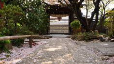 京都雨宝院の散ってからが美しい散桜
