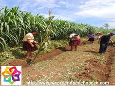 MICHOACÁN MÁGICO. ¿Sabes cuál es la costumbre de trabajo de los Purépechas? En la meseta Purépecha, la mujer, trabaja a lado de su marido con sus hijos y nietos. Así mientras preparan la tierra para la siembra, la asegundada y la cosecha, la familia está unida. AG HOTEL http://www.aghotel.com.mx/
