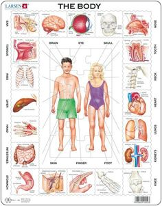 Larsen Puzzles The Body Kids Jigsaw Puzzle - Puzzle Frame, Learn Dutch, Jigsaw Puzzles For Kids, Human Body Art, Dutch Language, Human Body Systems, Jüngstes Kind, Body Anatomy, Learning Italian