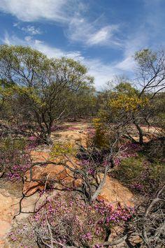 Wildflowers at Kalbarri NP// Western Australia Australian Road Trip, Australian Continent, Australian Garden, Australia Capital, Australia Photos, Western Australia, Native Australians, Australian Animals, Largest Countries