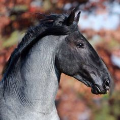 Murgese Carletto keeps getting better and better! Italy's amazing young blue roan Cavallo Razza Murgese stallion is perhaps the only example of his breed to be competing in international dressage today. Cute Horses, Pretty Horses, Horse Love, Beautiful Horses, Andalusian Horse, Friesian Horse, Arabian Horses, Black Horses, Wild Horses