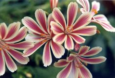 "Lewisia cotyledon ""Sunset strain"" - for alpine and rock garden"