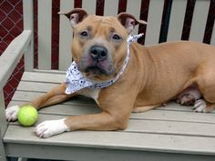 TO BE DESTROYED 4/25/15 Urgent Manhattan Center- P My name is BALI. My Animal ID # is A1032951. I am a female tan and white american staff mix. The shelter thinks I am about 1 YEAR 6 MONTHS old.  I came in the shelter as a STRAY on 04/12/2015 from NY 10474, owner surrender reason stated was STRAY. Posted in:Featured Publicly Adoptable To Be Destroyed