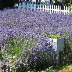 The Lavender Festival in Sequim, Washington