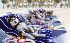 time for vacation Siberian-Husky | Siberian Husky