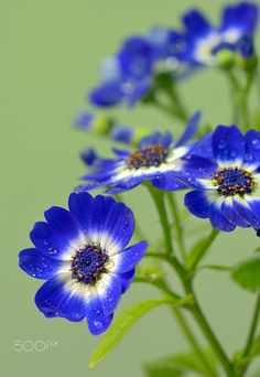 Blue and white cineraria flowers - Blue and white cineraria flowers in garden