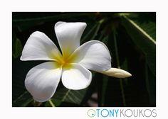 green, Thailand, islands, foliage, white flowers, yellow, nature, travel, art, photography, Tony Koukos