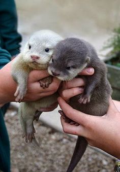 Baby Otters. I just died! So much cuteness!