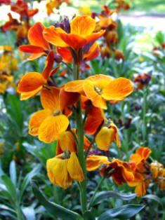 Flores ornamentales: Alhelí amarillo (Cheiranthus cheiri)