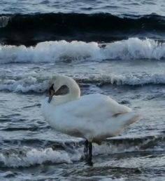 Nice bird in waves.