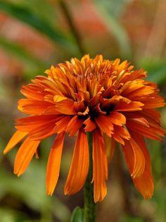 Echinacea 'Marmalade' Coneflower