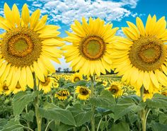 © james ward ewing - Three Sunflowers together in summer sunflower field.  Pope…
