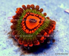 As many of us have witnessed, there are lots of coral 'fads' that have come and gone over the years. From the early-on craze over the Australian Acan Lord