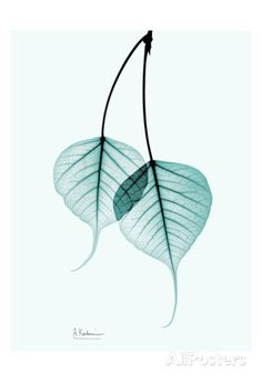 Bodhi Tree Teal Posters by Albert Koetsier at AllPosters.com