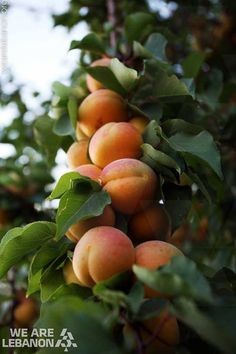 Would you like an apricot?  عبالكن مشمش؟
