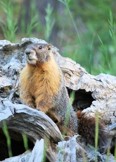 A golden-chested marmot. He stopped to watch me curiously while I took his picture.
