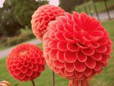 Dahlias Orange Floral Photography Gardens by DragonflyPhotography, $35.00