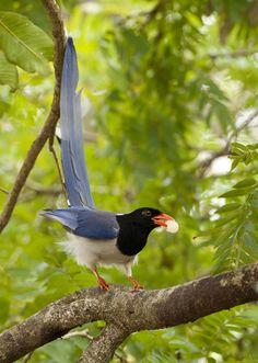 Red-billed Blue Magpie - Urocissa erythrorhyncha Tropical Birds, Exotic Birds, Colorful Birds, Exotic Flowers, Pretty Birds, Beautiful Birds, Animals Beautiful, Blue Jay Bird, Red Bill