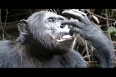 Chimpanzee Outtakes by the Jane Goodall Institute. Funny chimp moments in Gombe.