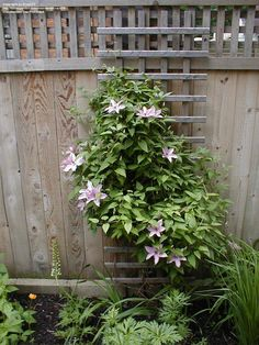 Hagley Hybrid Clematis | PlantFiles: Picture #6 of Clematis 'Hagley Hybrid' (Clematis)