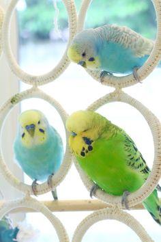Toys For Parrots Love Birds Pet, Cute Birds, Pretty Birds, Beautiful Birds, Animals Beautiful, Budgie Toys, Parrot Toys, Parrot Bird, Diy Bird Toys