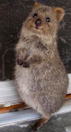 **Cute animal - the Quokka, an Australian marsupial