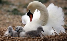 Farm Animals, Animals And Pets, Funny Animals, Cute Animals, Beautiful Birds, Animals Beautiful, Cygnus Olor, Rare Horses, Mute Swan