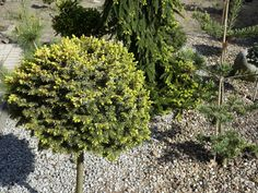 Picea omorika Peve Tijn