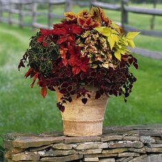 Богатая, изысканная цветовая гамма листьев колеусов позволяет создавать впечатляющие композиции как в помещениях, так и в открытом грунте.