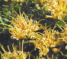 Grevillea juniperina Prostrate Gold. Max Height: 15 cm Size: 1.5m spread Position: Full sun to part shade. Clusters of golden spider flowers appear upon dark green foliage from late winter through spring. Prune as desired. Fertilise with a long term slow release fertiliser after flowering.