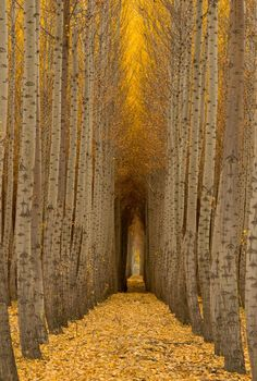 Beautiful forest nature at Boardman City on the pass of the Columbia River, Morrow County Oregon Landscape Pictures, Nature Pictures, Boardman Tree Farm, Landscape Photography, Nature Photography, Tree Tunnel, Image Nature, Photos Voyages, Amazing Nature